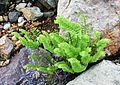Adiantum aleuticum (western maidenhair fern) - Flickr - brewbooks.jpg
