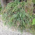 Adiantum hispidulum plant.JPG