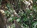Adke Biluballi (Kannada- ಆಡ್ಕೆ ಬೀಳುಬಳ್ಳಿ) (6673265515).jpg