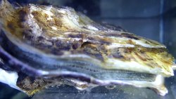 Fil:Adult-Pacific-Oyster-(Crassostrea-gigas)-May-Have-Light-Sensitivity-pone.0140149.s001.ogv