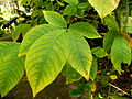 Aesculus parviflora (4).JPG
