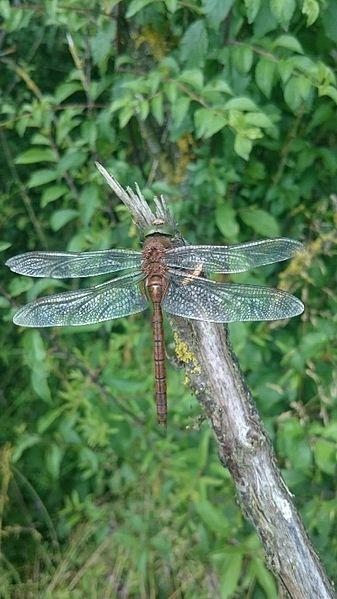 Aeshna isoceles (Aeshnidae) (Green-eyed Hawker), Lachaussée, France