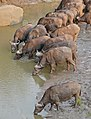 African Buffaloes (Syncerus caffer) drinking ... (31987063850).jpg