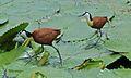 African Jacana (Actophilornis africana) (6001942849).jpg