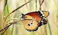 African Monarch (Danaus chrysippus) (6021638711).jpg