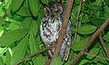 African Scops-Owl (Otus senegalensis) (6014352389).jpg