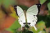 African swallowtail (Papilio dardanus antinorii ) male.jpg