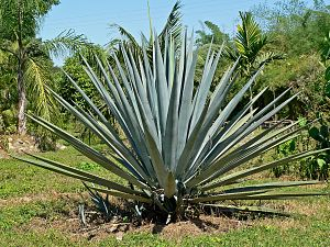 Agave tequilana am Fundort in Jalisco in Mexiko
