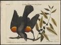Agelaius phoeniceus - 1700-1880 - Print - Iconographia Zoologica - Special Collections University of Amsterdam - UBA01 IZ15800253.tif