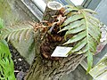 Aglaomorpha meyeniana - Botanischer Garten Freiburg - DSC06282.jpg