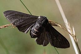 Peppered Moth Evolution Wikipedia