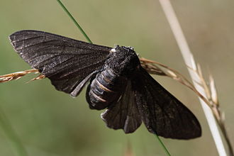 Peppered moth evolution - Creationists have disputed the occurrence or significance of the melanic carbonaria morph increasing in frequency.