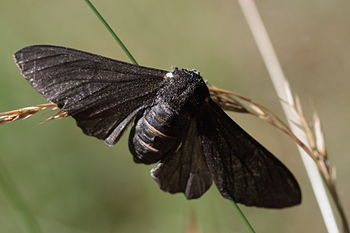 A black-bodied peppered moth (Biston betularia...