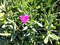 Aizoaceae Cape.jpg