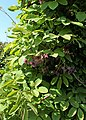 Akebia quinata kz02.jpg