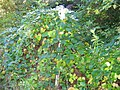Akebia trifoliata (Thunb.) Koidz (AM AK305229-2).jpg