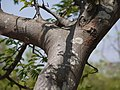 Albizia amara subsp. amara (5656885286).jpg