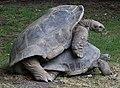 Aldabra mating 6 - IMG 3493.JPG