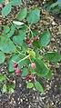 Alleghany Serviceberry (35004150941).jpg