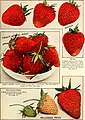 Allen's book of berries - 1916 (1916) (17331249473).jpg