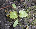 Alliaria petiolata 2017-04-20 8302.jpg