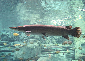 Alligator gar - Alligator gar in an aquarium