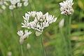 Allium cernuum-IMG 4316.jpg
