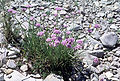 Allium geyeri.jpg