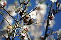 Almond trees in blossom - WLE Spain 2015 (1).jpg