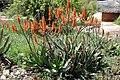 Aloe brevifolia Short-leaved Aloe მოკლეღეროიანი ალოე.JPG