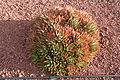 Aloe hybrid - possibly brevifolia x perfoliata 1.jpg