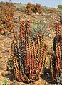 Aloe pearsonii Richtersveld Namibia 2.jpg