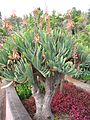 Aloe plicatilis V.jpg