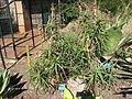 Aloe striatula.jpg