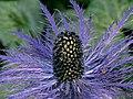 Alpen-Mannstreu (Eryngium alpinum) 02.jpg