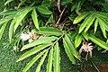 Alpinia purpurata 47zz.jpg