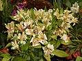 Alstroemeria flowers in Gangtok.jpg