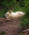Alte Fasanerie Klein-Auheim Schlafender Polarwolf Juni 2012.JPG
