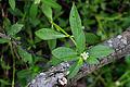 Alternanthera philoxeroides - Leping, Jiangxi, China 2014.06.15 12-06-25.jpg