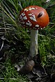 Amanita muscaria (29402954473).jpg