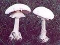 Amanita verna 3.jpg