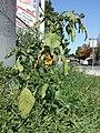 Amaranthus viridis sl6.jpg