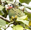 Amazona leucocephala -Matanzas, Matanzas Province, Cuba-8.jpg
