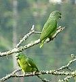 Amazona mercenaria (Lora andina) - Flickr - Alejandro Bayer (1).jpg