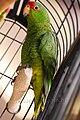 Amazona pretrei -bird cage-8a.jpg
