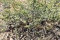 Ambrosia acanthicarpa kz04.jpg