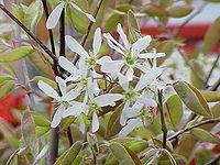 Amelanchier grandiflora2