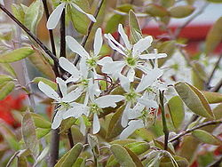 definition of amelanchier