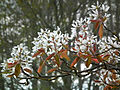 Amelanchier x grandiflora.jpg