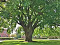 American Elm at Phillips Academy, Andover, MA - May 2020.jpg